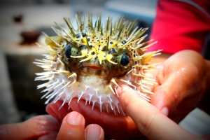 In Penghu, Taiwan, a blowfish ended up in a fishing net. He entertained us for a bit before he was thrown back out.